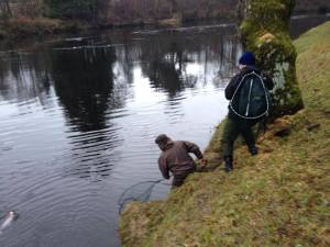 Fish on for Dunkeld House Fishing, River Tay