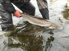returning a double figure Sea Trout at Birgham -1