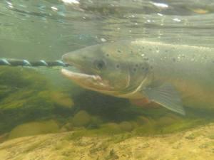Junction salmon